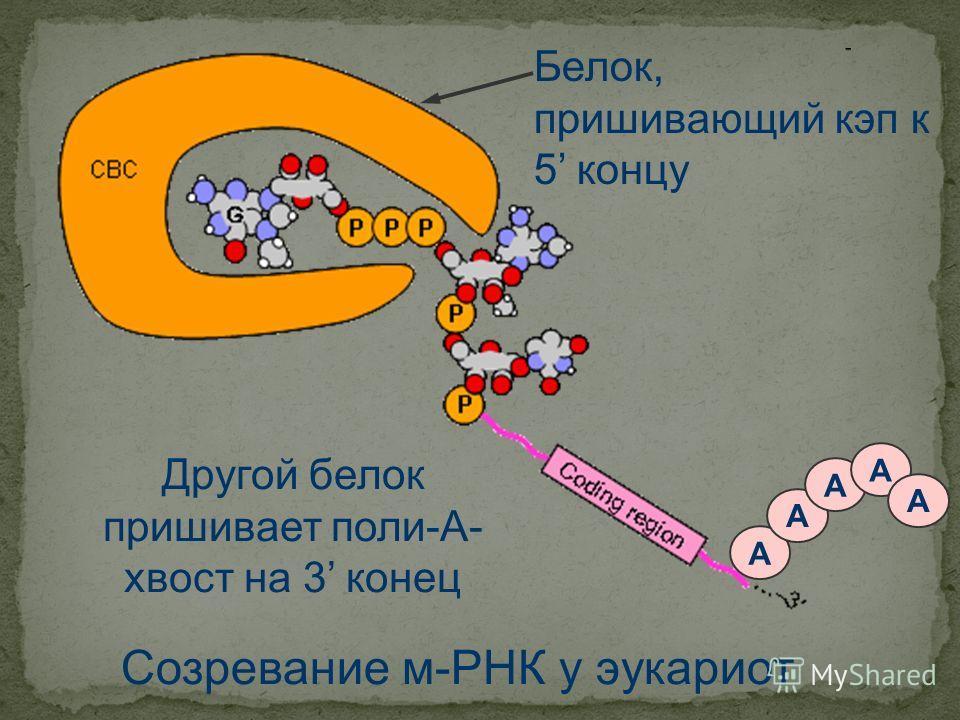 Созревание м-РНК у эукариот Белок, пришивающий кап к 5 концу А А А А А Другой белок пришивает поли-А- хвост на 3 конец