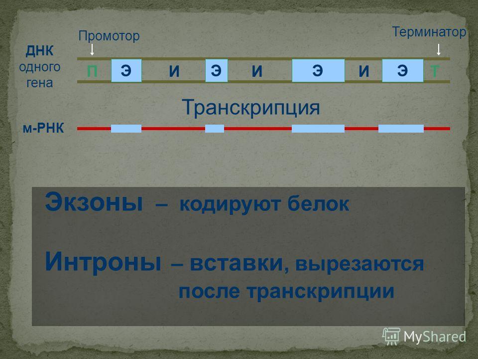ДНК одного гена ПТ ЭЭЭЭ ИИИ Промотор Терминатор м-РНК Экзоны – кодируют белок Интроны – вставки, вырезаются после транскрипции Транскрипция