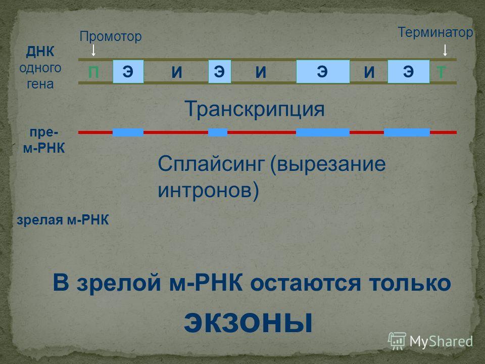 ДНК одного гена ПТ ЭЭЭЭ ИИИ Промотор Терминатор пре- м-РНК Транскрипция Сплайсинг (вырезание интронов) зрелая м-РНК В зрелой м-РНК остаются только экзоны