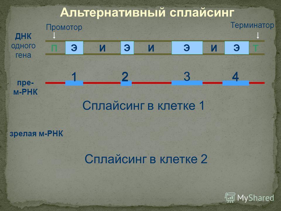 ДНК одного гена ПТ ЭЭЭЭ ИИИ Промотор Терминатор пре- м-РНК Сплайсинг в клетке 1 зрелая м-РНК Сплайсинг в клетке 2 1 Альтернативный сплайсинг 243 124 3 124