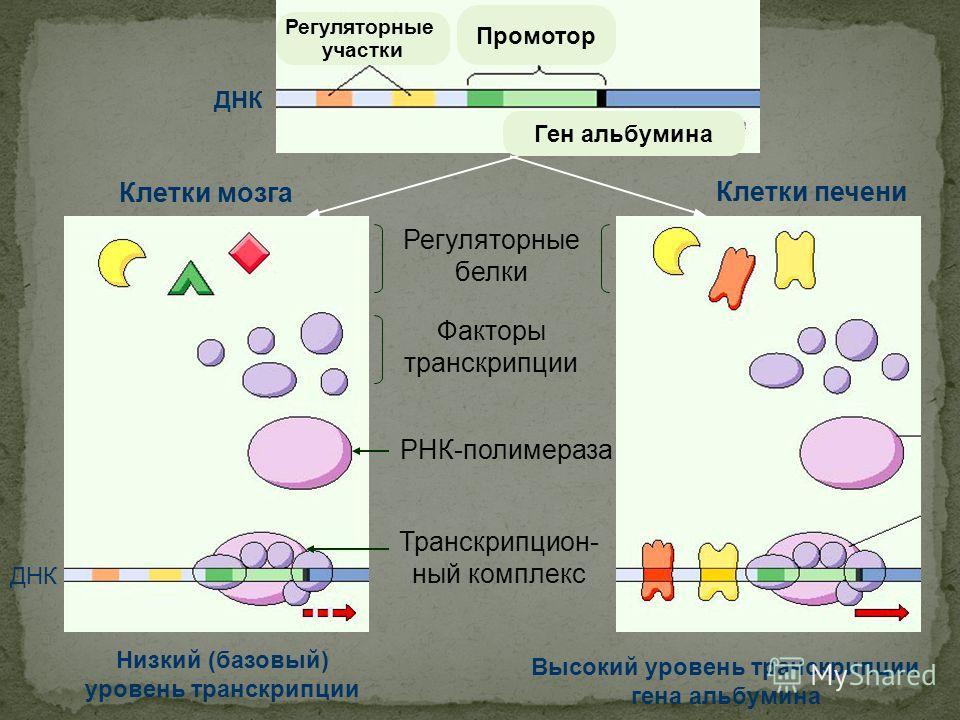 Клетки мозга Клетки печени Низкий (базовый) уровень транскрипции Высокий уровень транскрипции гена альбумина Регуляторные белки Факторы транскрипции РНК-полимераза Транскрипцион- ный комплекс ДНК Регуляторные участки Ген альбумина Промотор