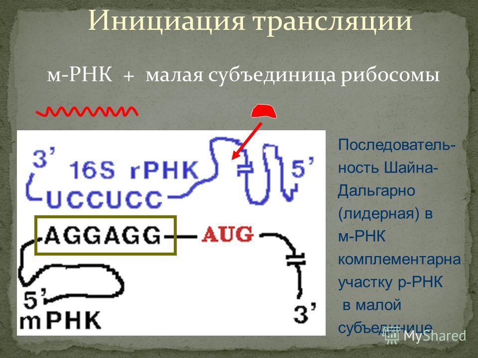 Инициация трансляции м-РНК + малая субъединица рибосомы Последователь- ность Шайна- Дальгарно (лидерная) в м-РНК комплементарна участку р-РНК в малой субъединице