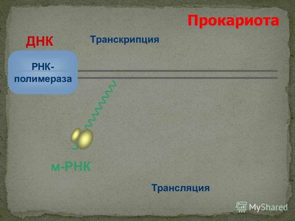 м-РНК Прокариота ДНК РНК- полимераза Транскрипция Трансляция