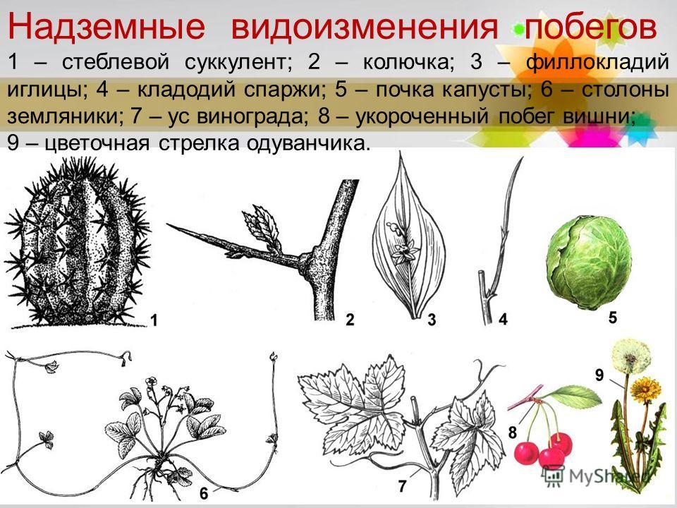 Page 3 Надземные видоизменения побегов 1 – стеблевой суккулент; 2 – колючка; 3 – филлокладий иглицы; 4 – кладодий спаржи; 5 – почка капусты; 6 – столоны земляники; 7 – ус винограда; 8 – укороченный побег вишни; 9 – цветочная стрелка одуванчика.