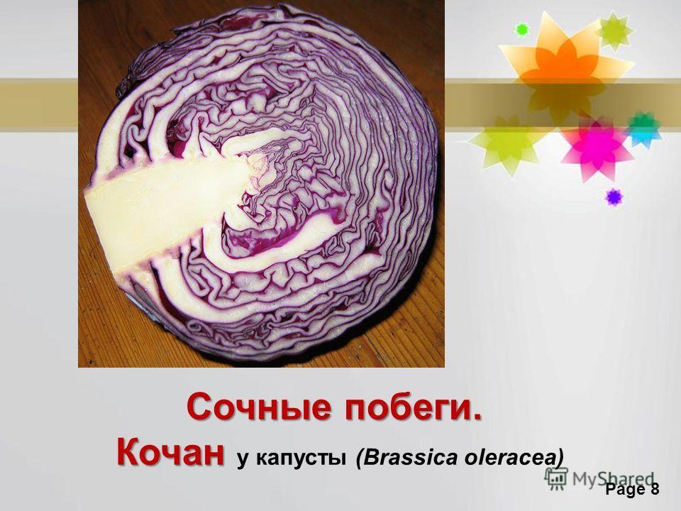 Page 8 Сочные побеги. Кочан Кочан у капусты (Brassica oleracea)