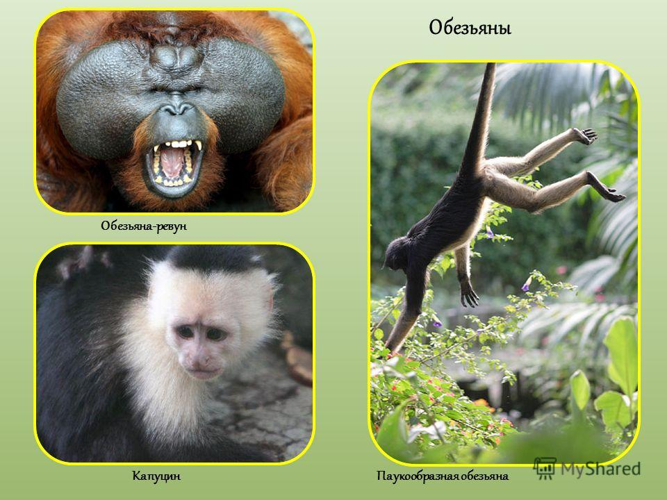 Обезьяны Обезьяна-ревун Капуцин Паукообразная обезьяна