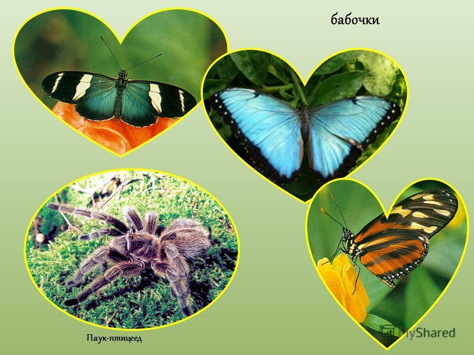 бабочки Паук-птицеед