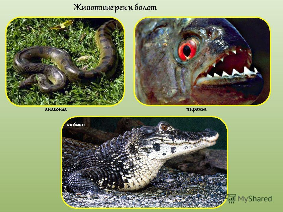 Животные рек и болот анаконда пиранья кайман