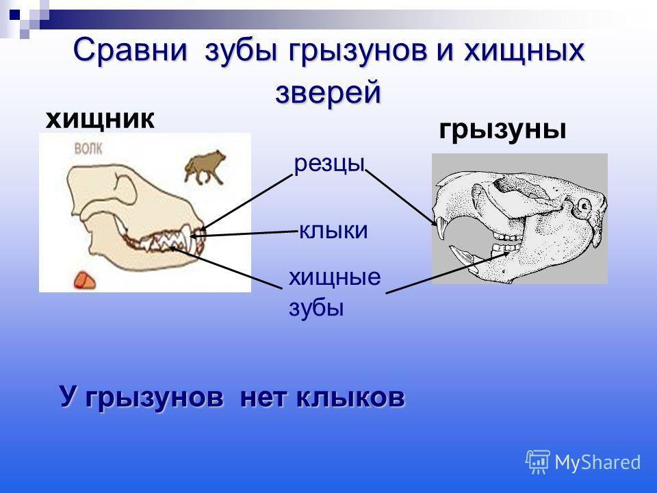 Сравни зубы грызунов и хищных зверей резцы клыки хищные зубы У грызунов нет клыков У грызунов нет клыков хищник грызуны