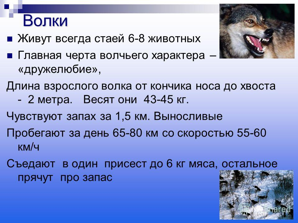 Живут всегда стаей 6-8 животных Главная черта волчьего характера – «дружелюбие», Длина взрослого волка от кончика носа до хвоста - 2 метра. Весят они 43-45 кг. Чувствуют запах за 1,5 км. Выносливые Пробегают за день 65-80 км со скоростью 55-60 км/ч С