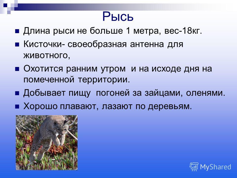 Рысь Длина рыси не больше 1 метра, вес-18 кг. Кисточки- своеобразная антенна для животного, Охотится ранним утром и на исходе дня на помеченной территории. Добывает пищу погоней за зайцами, оленями. Хорошо плавают, лазают по деревьям.