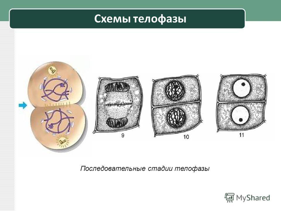 Схемы телофазы Последовательные стадии телофазы