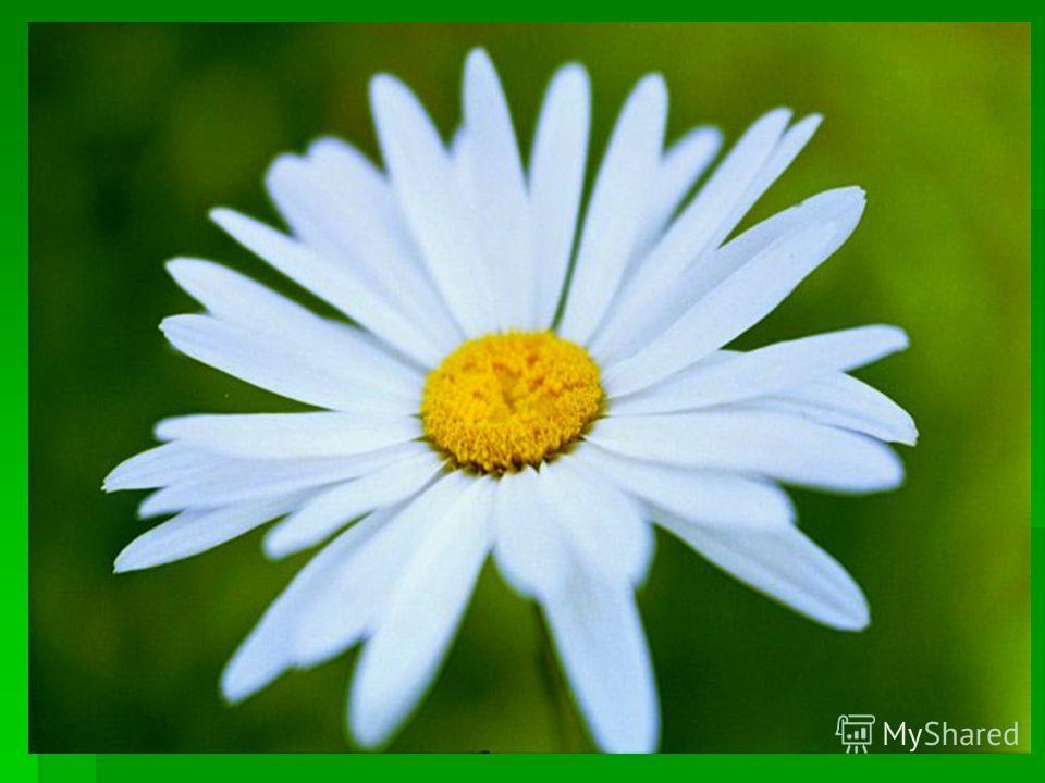 Стоят в поле сестрички, Стоят в поле сестрички, Желтый глазок, белые реснички. Желтый глазок, белые реснички.