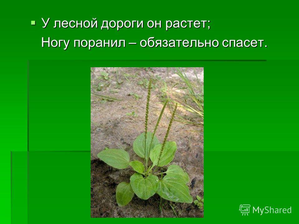 У лесной дороги он растет; У лесной дороги он растет; Ногу поранил – обязательно спасет. Ногу поранил – обязательно спасет.