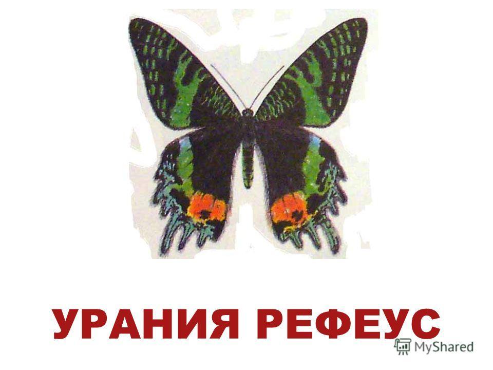 УРАНИЯ РЕФЕУС