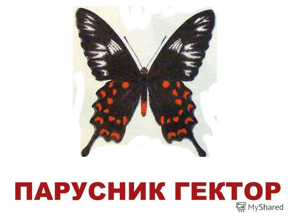 ПАРУСНИК ГЕКТОР