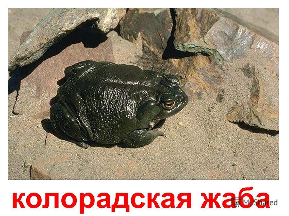 водяная жаба