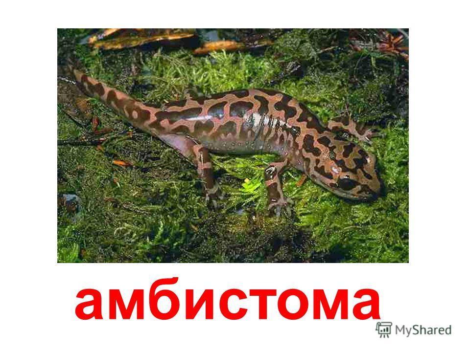 чёрная саламандра