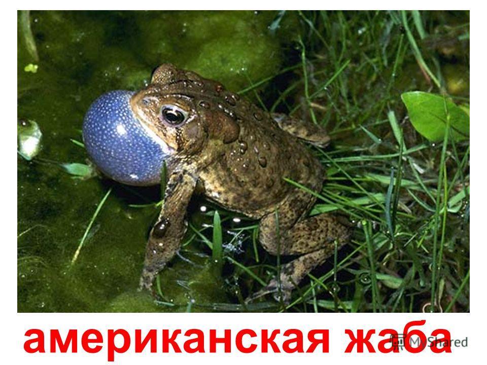западная жаба