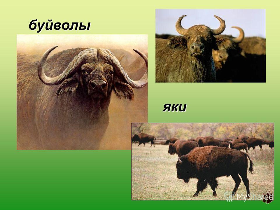 буйволы яки