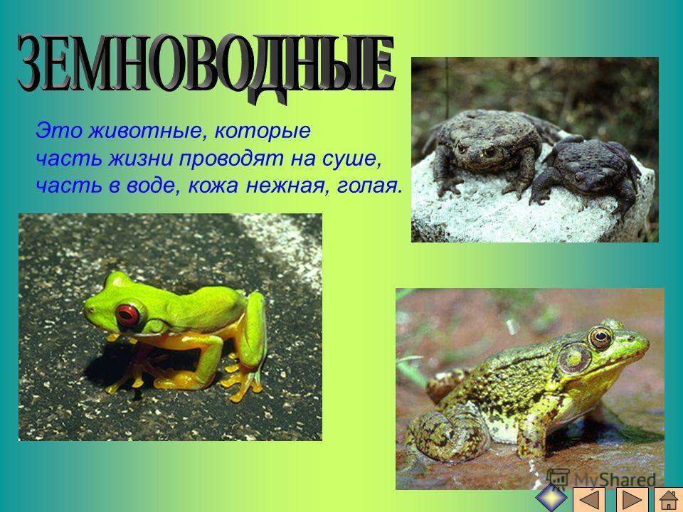 Это животные, которые часть жизни проводят на суше, часть в воде, кожа нежная, голая.