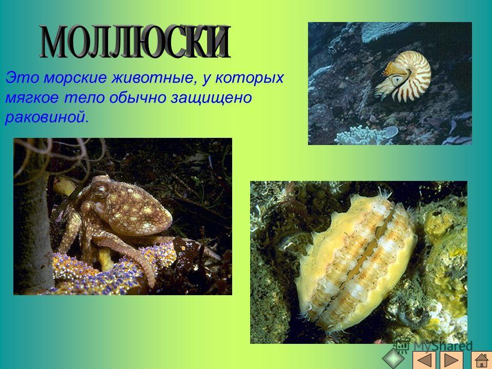 Это морские животные, у которых мягкое тело обычно защищено раковиной.