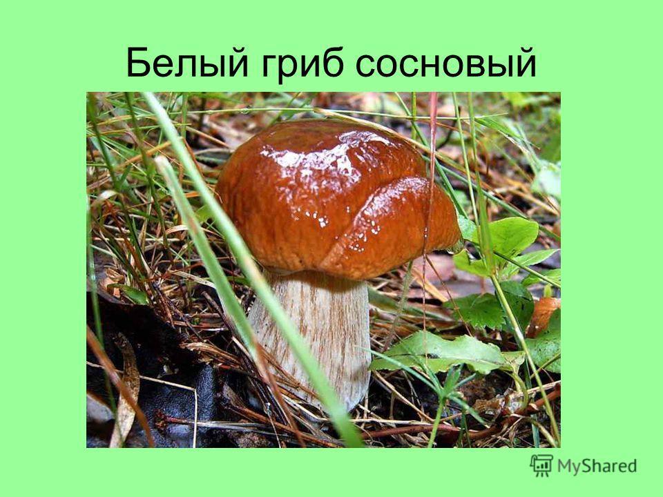 Белый гриб сосновый