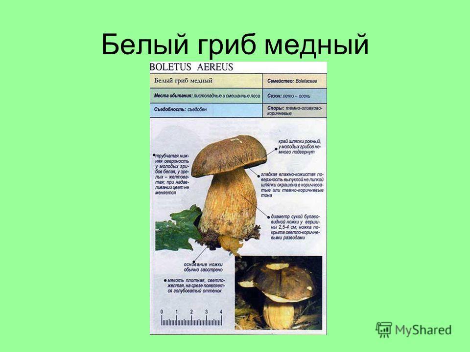 Белый гриб медный