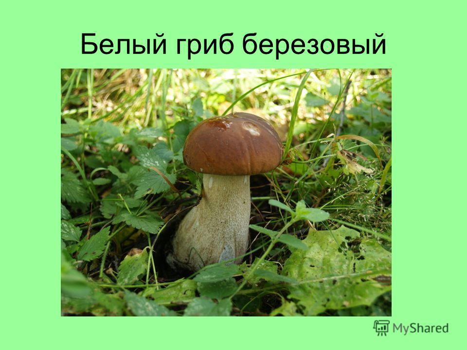 Белый гриб березовый