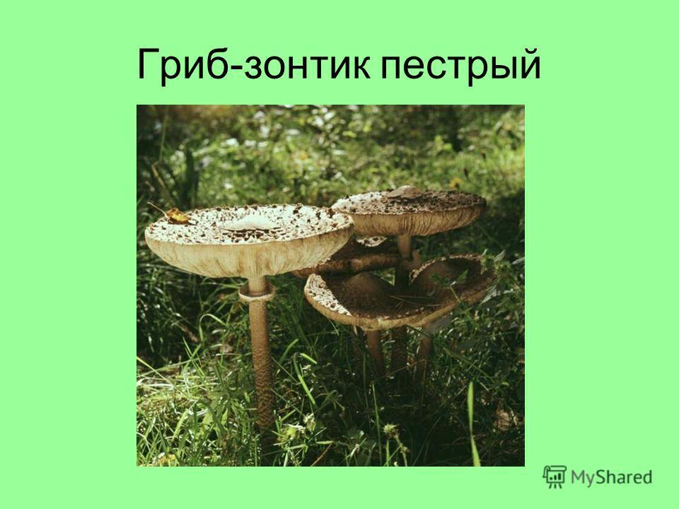 Гриб-зонтик пестрый