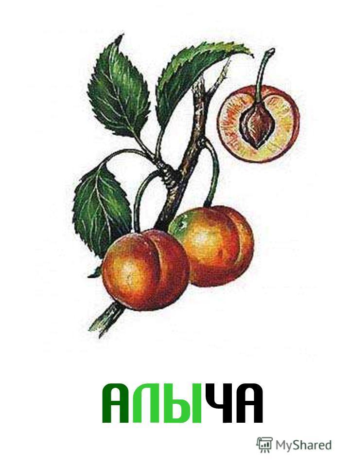 АЛЫЧА Алыча