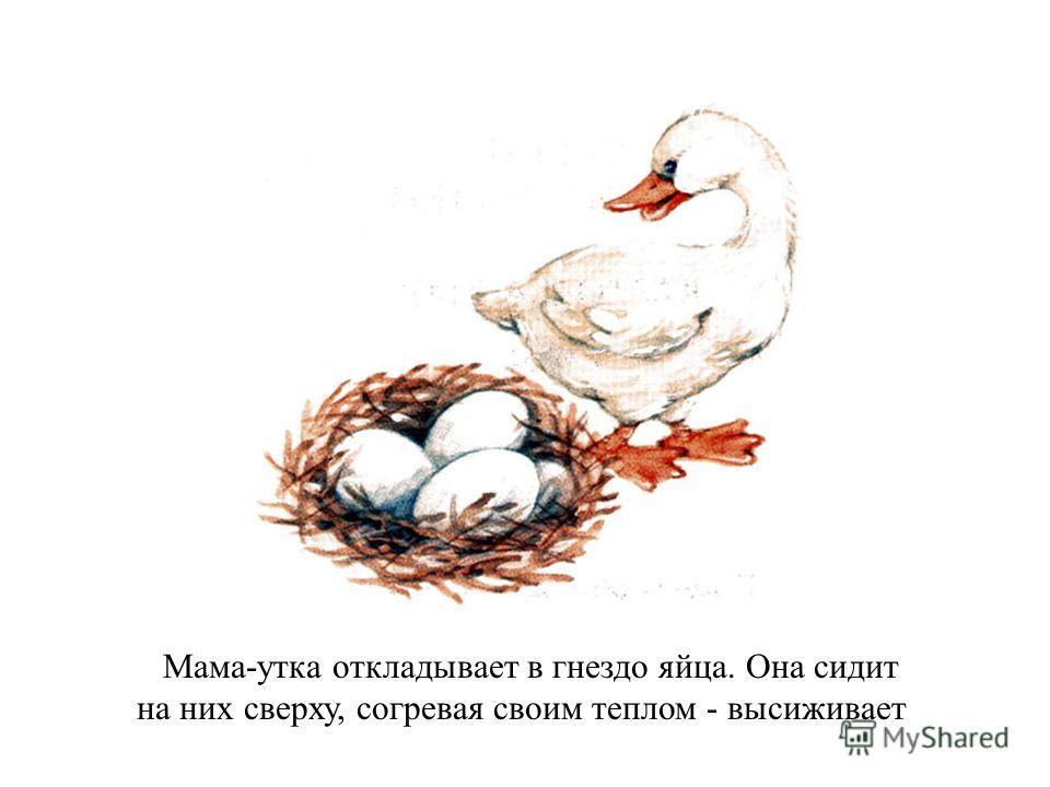 Мама-утка откладывает в гнездо яйца. Она сидит на них сверху, согревая своим теплом - высиживает