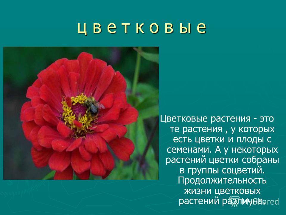 ц в е т к о в ы е Цветковые растения - это те растения, у которых есть цветки и плоды с семенами. А у некоторых растений цветки собраны в группы соцветий. Продолжительность жизни цветковых растений различна.