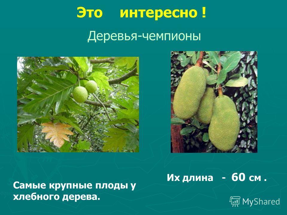 Это интересно ! Деревья-чемпионы Самые крупные плоды у хлебного дерева. Их длина - 60 см.