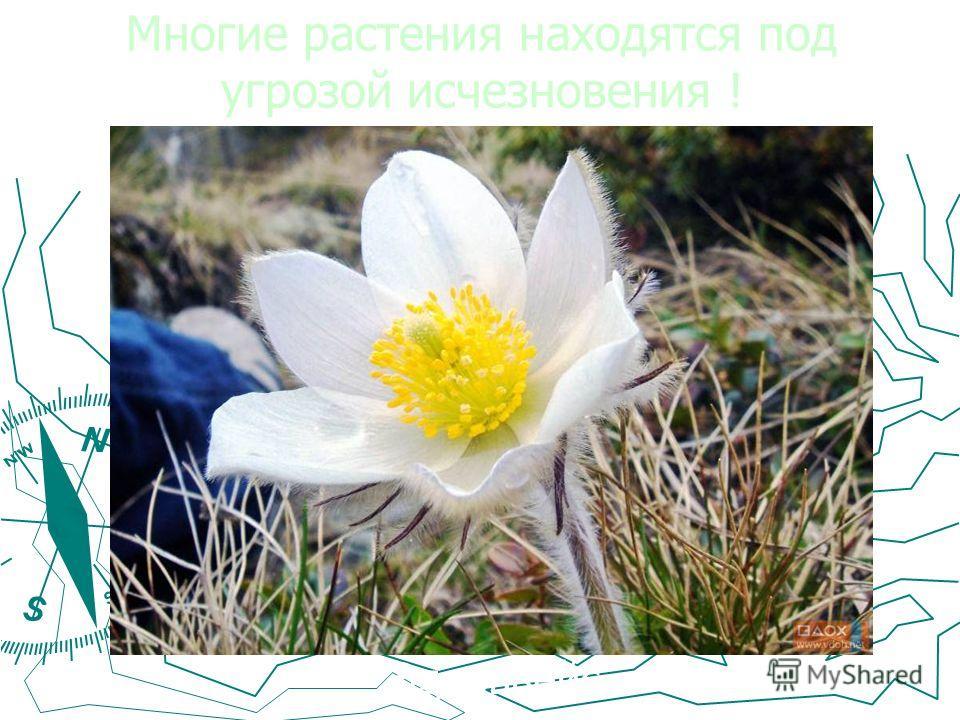 Многие растения находятся под угрозой исчезновения ! Эдельвейс