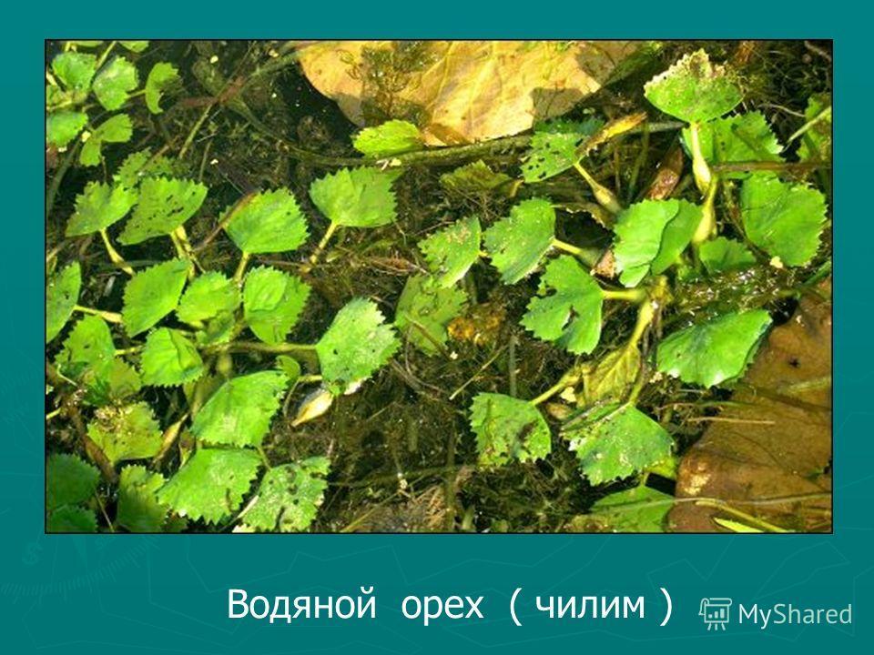 Водяной орех ( чилим )