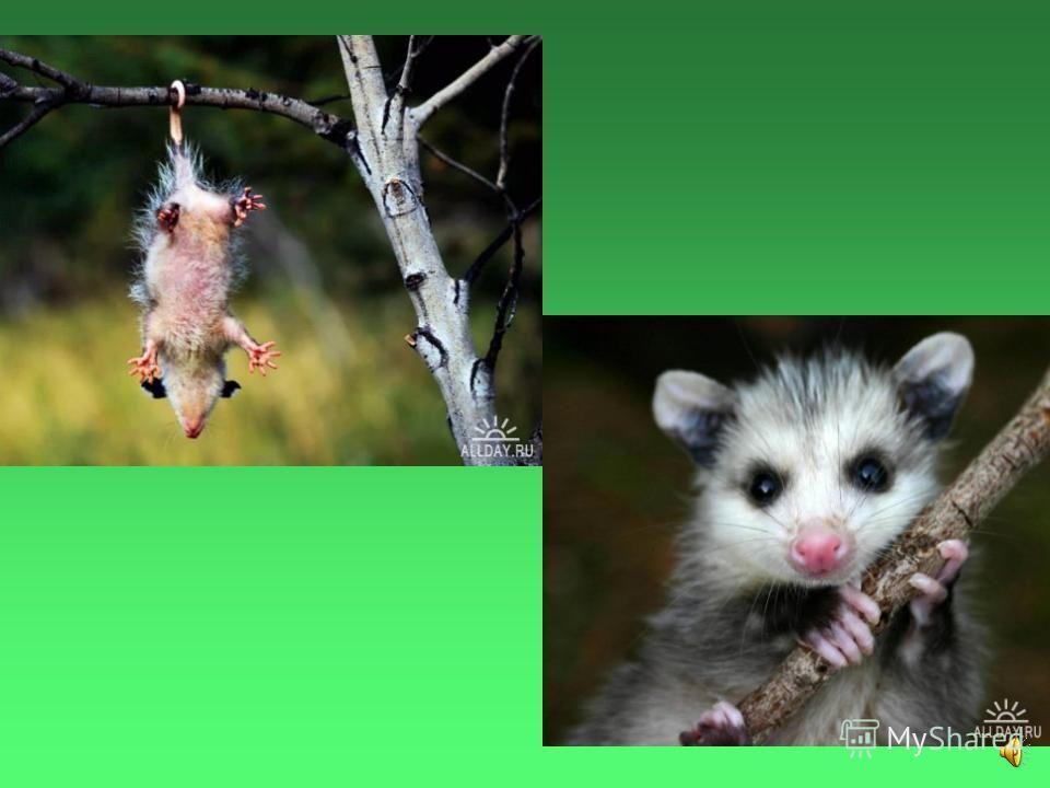 У него по пять цепких пальцев на лапках и почти голый длинный хвост, приспособленный для лазанья по деревьям.
