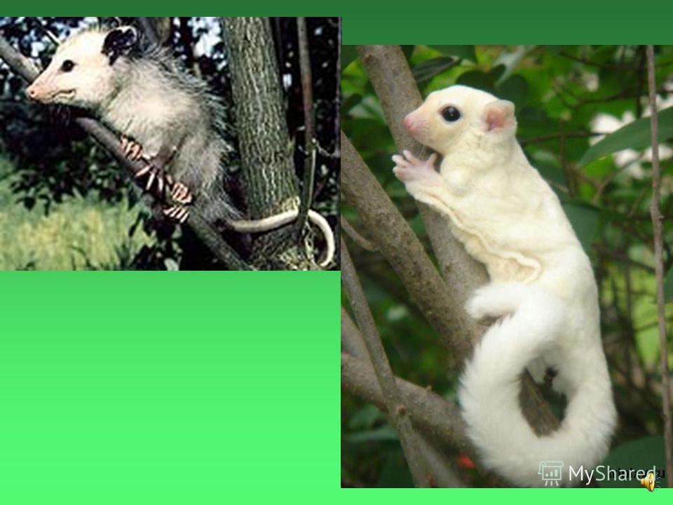 Цвет опоссумов обычно серовато- бурый, но встречаются и совершенно белые экземпляры.
