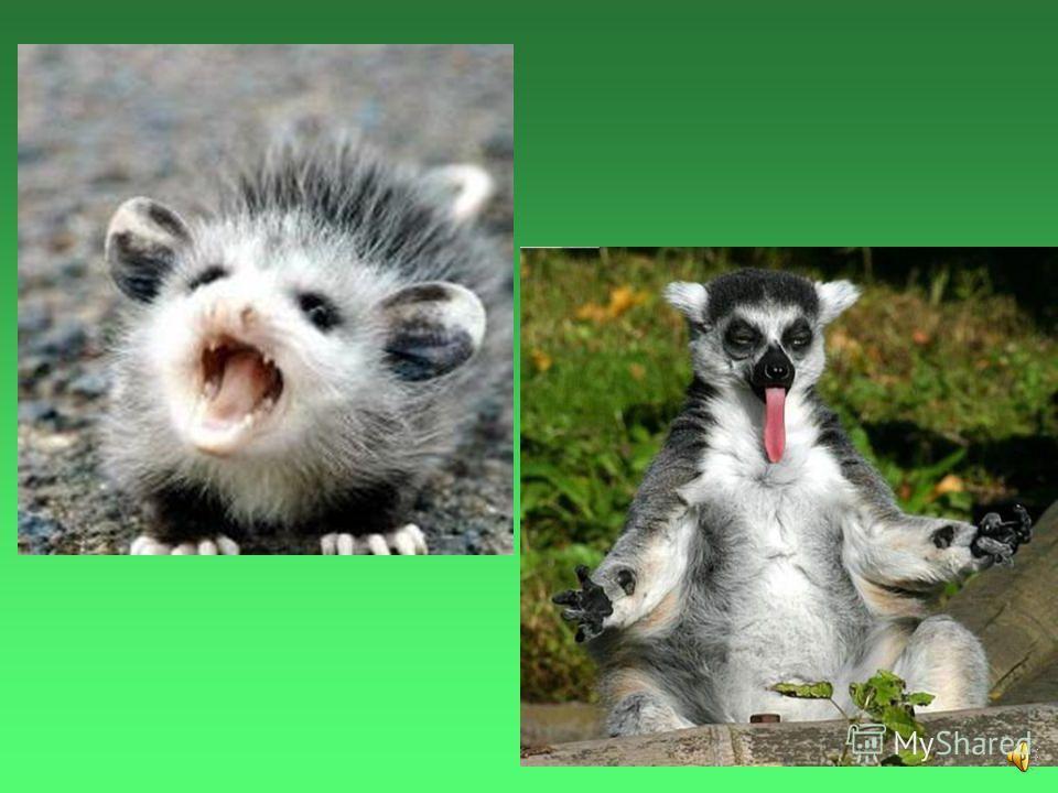 Чтобы напугать своих врагов опоссумы широко открывают пасть и показываю все свои 50 зубов.