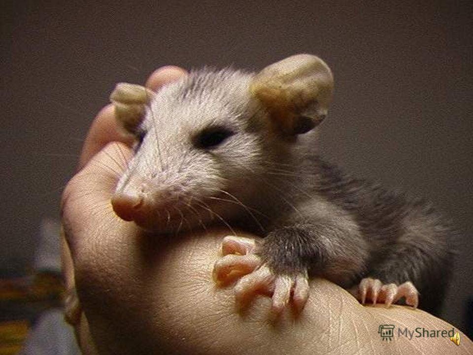 Разновидностью опоссумов является чилийский опоссум зверек размером чуть больше мыши.