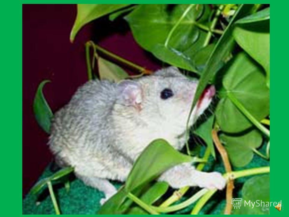 Он предпочитает жить там, где растет чилийский бамбук и строит себе гнезда на деревьях из веточек, бамбуковых листьев, травы и мха.