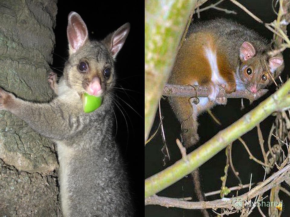 Дальний родственник опоссума, тоже принадлежащий к сумчатым, поссум или кузу, живет в Австралии.