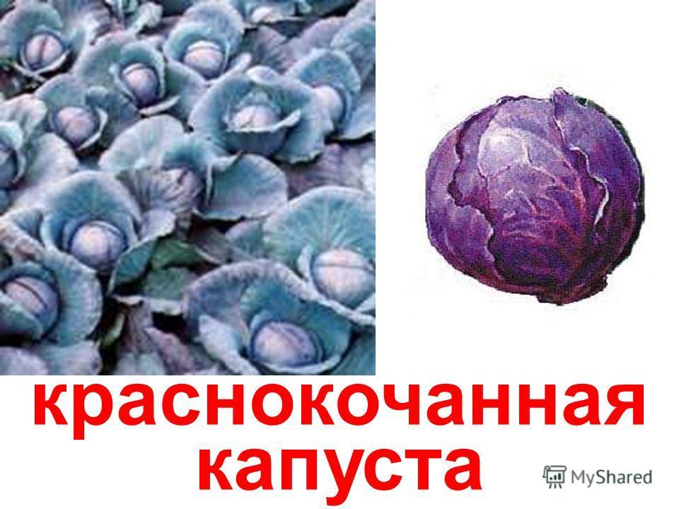 белокочанная капуста Белокочанная капуста