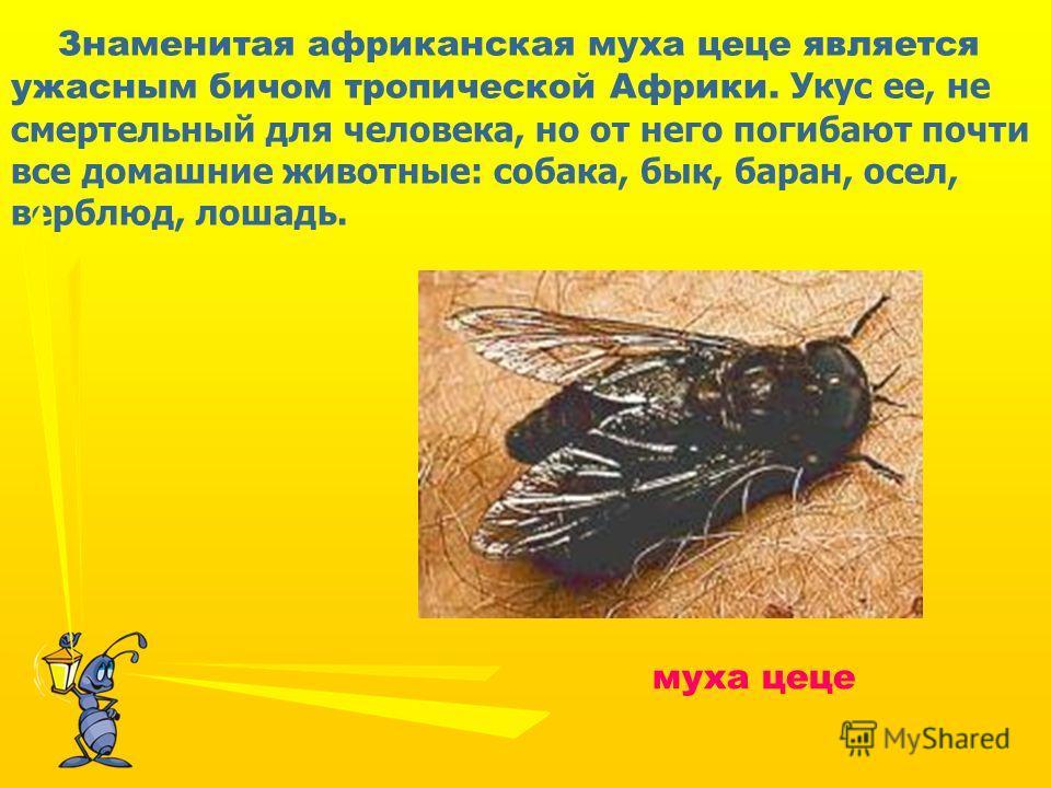 Знаменитая африканская муха цеце является ужасным бичом тропической Африки. Укус ее, не смертельный для человека, но от него погибают почти все домашние животные: собака, бык, баран, осел, верблюд, лошадь. муха цеце