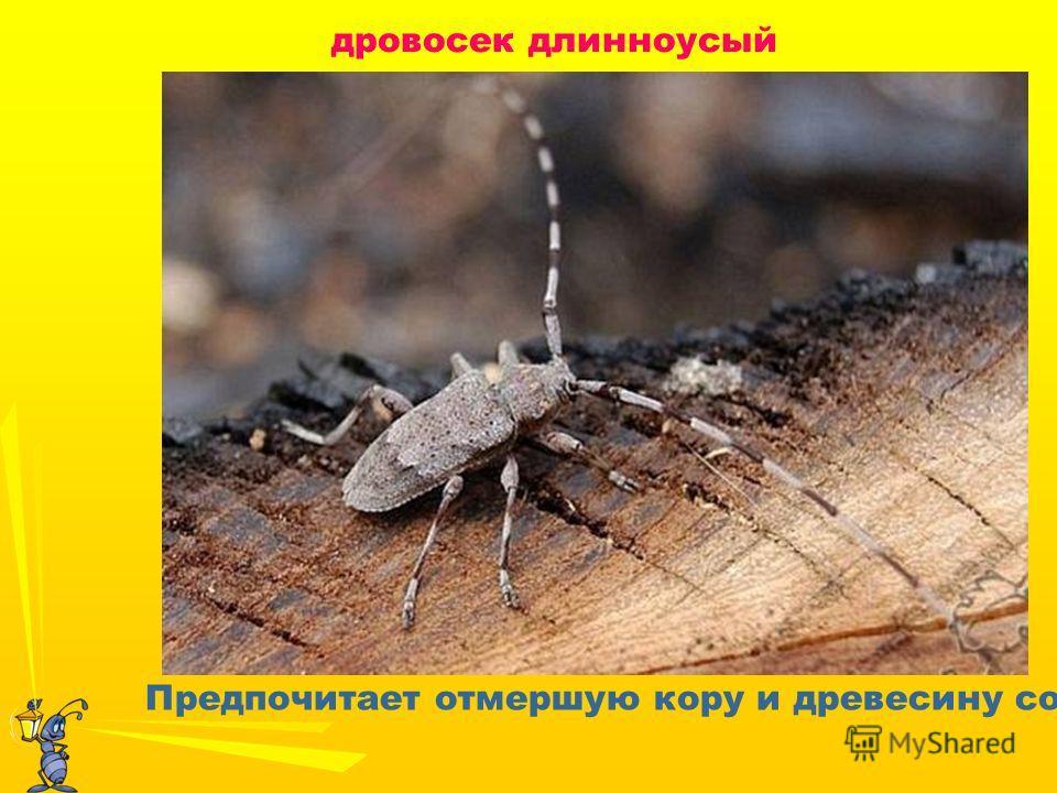 дровосек длинноусый Предпочитает отмершую кору и древесину сосен.