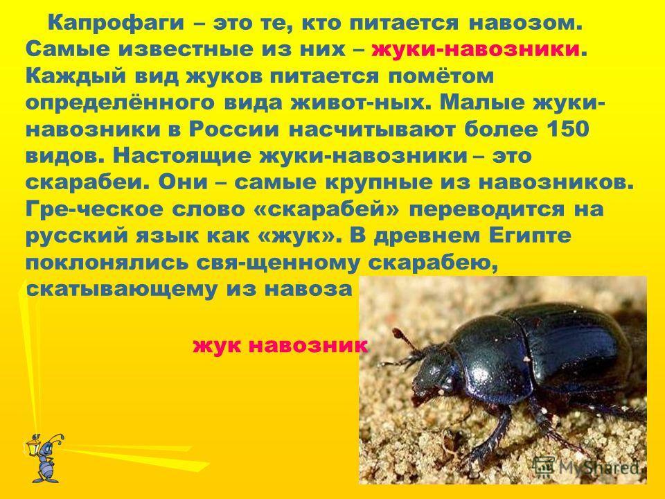 Капрофаги – это те, кто питается навозом. Самые известные из них – жуки-навозники. Каждый вид жуков питается помётом определённого вида живот-ных. Малые жуки- навозники в России насчитывают более 150 видов. Настоящие жуки-навозники – это скарабеи. Он