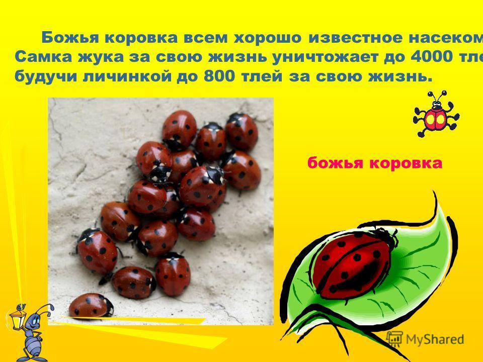 Божья коровка всем хорошо известное насекомое. Самка жука за свою жизнь уничтожает до 4000 тлей, а будучи личинкой до 800 тлей за свою жизнь. божья коровка