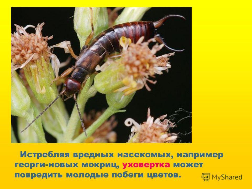 Истребляя вредных насекомых, например георги-новых мокриц, уховертка может повредить молодые побеги цветов.