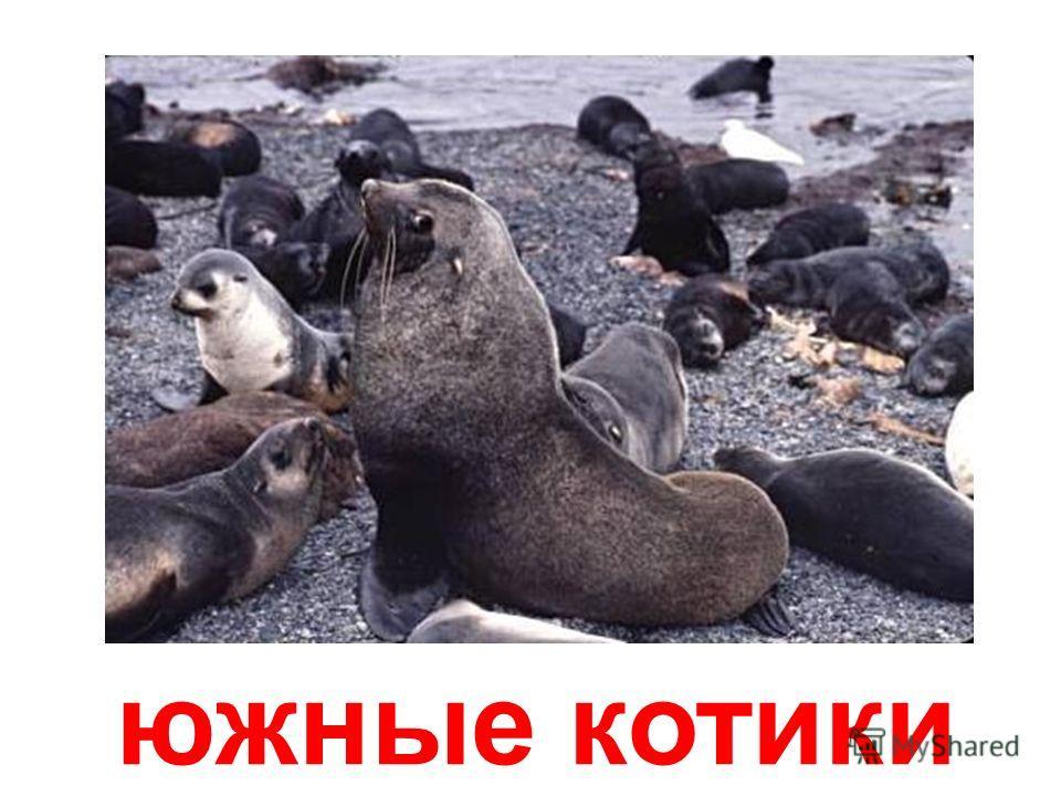 северные котики