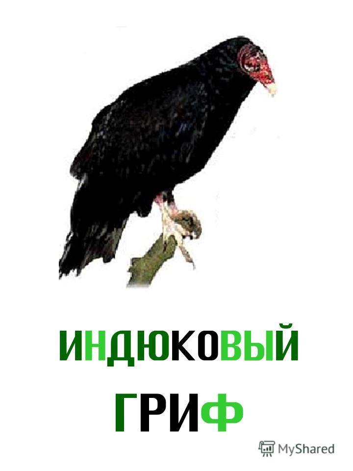 ИНДЮКОВЫЙ ГРИФ